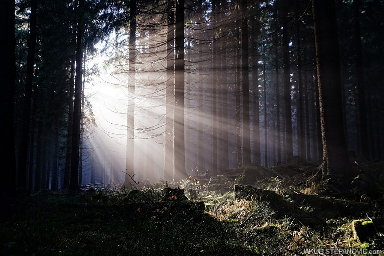 Rays in the woods